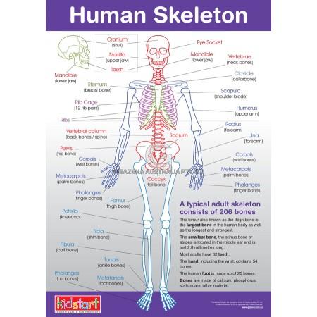 Human Anatomy & Skeleton Chart