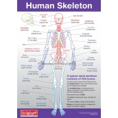 Human Anatomy & Skeleton Chart